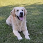 CUCCIOLATA GOLDEN RETRIEVER NATI IL 29/07/18